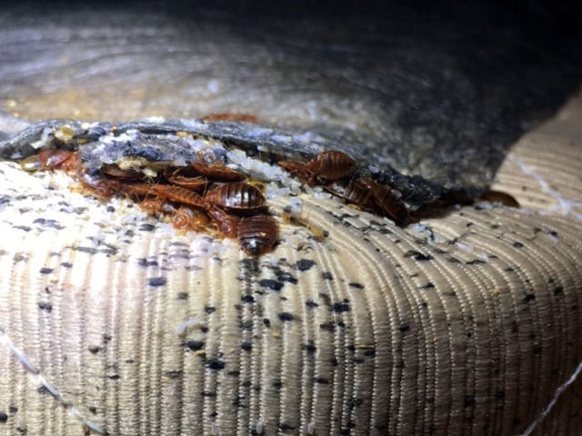 Bed Bug Infestation On Mattress.