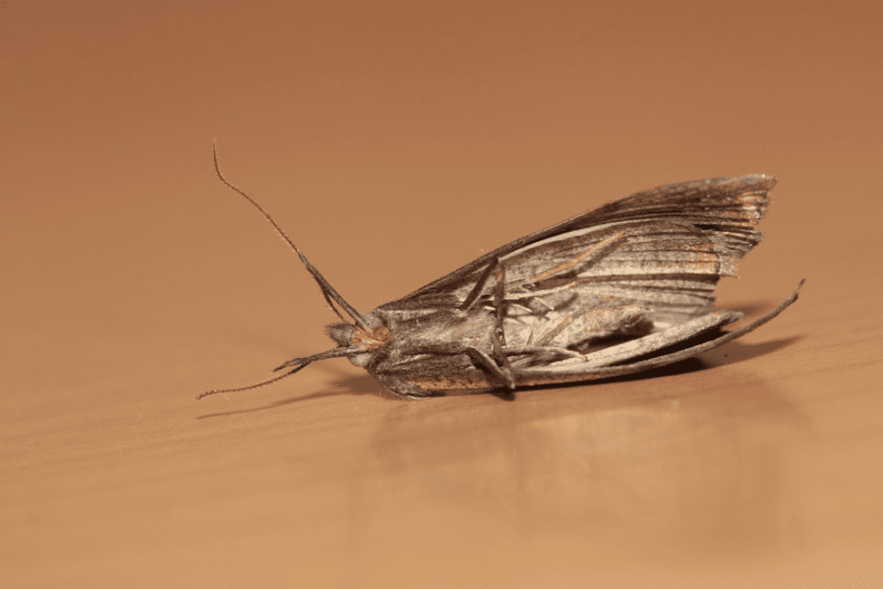 How to Get Rid of Those Pesky Pantry Moths   Pest Control Tips