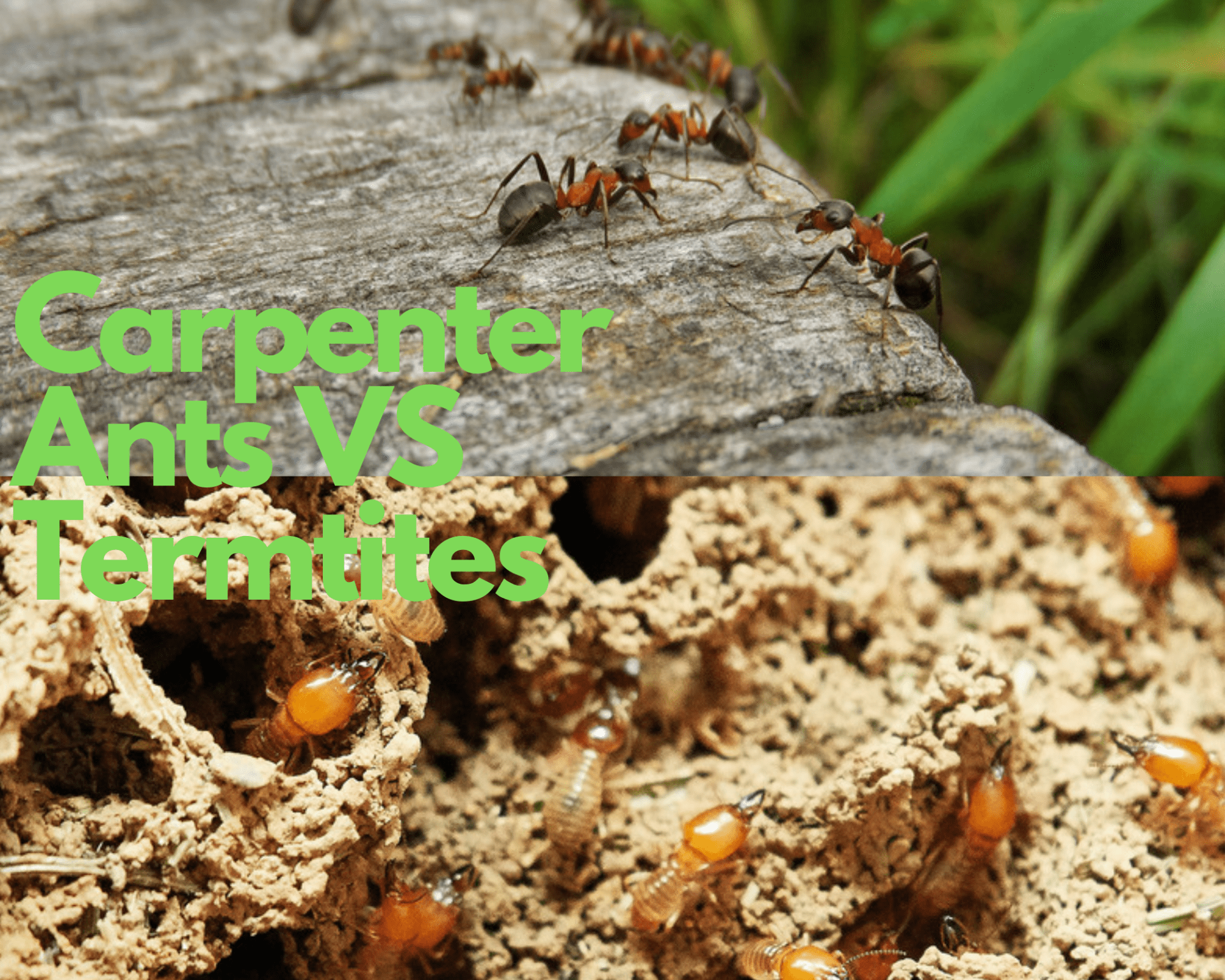 Carpenter Ants Vs Termites What S The Difference