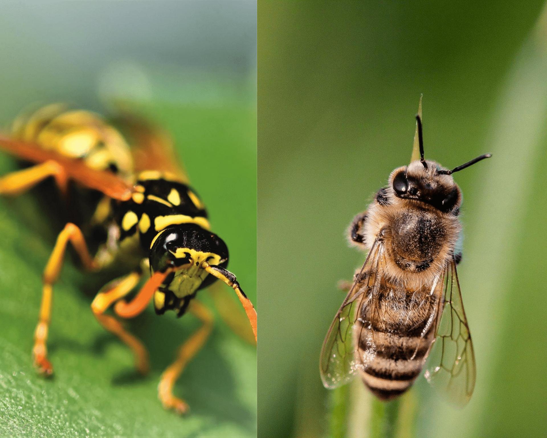 Wasps vs bees